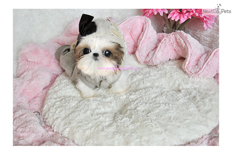 Chinese Imperial Dog: Chinese Chinese Imperial Dog Puppies For Sale Breed