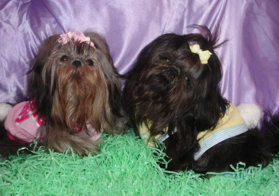 Chinese Imperial Dog: Chinese Chinese Imperial Dogs Girls Breed