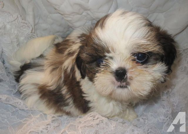 Chinese Imperial Puppies: Chinese Chinese Imperial Shih Tzu Male Puppies Breed