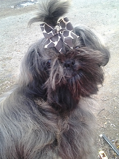 Chinese Imperial Dog: Chinese Chineseimperialdog Breed