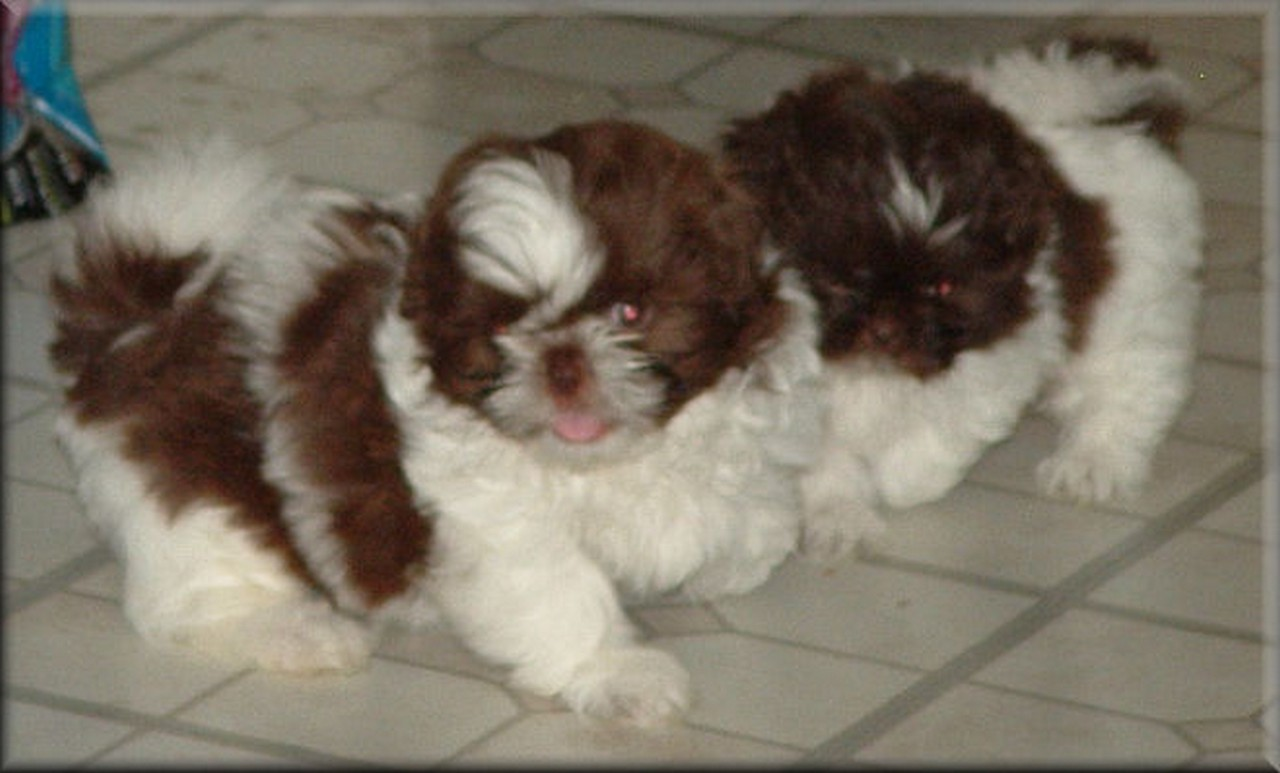 Chinese Imperial Dog: Chinese Cute Chinese Imperial Dogs Breed