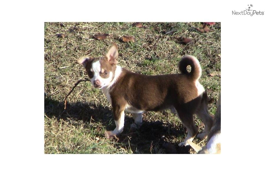 Chinese Chongqing Puppies: Chinese E Ca Breed