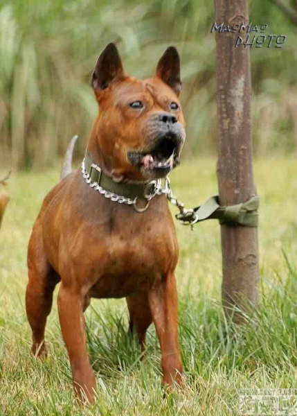 Chinese Chongqing Dog: Chinese Fafdbfdae Chongqing Dog Breed
