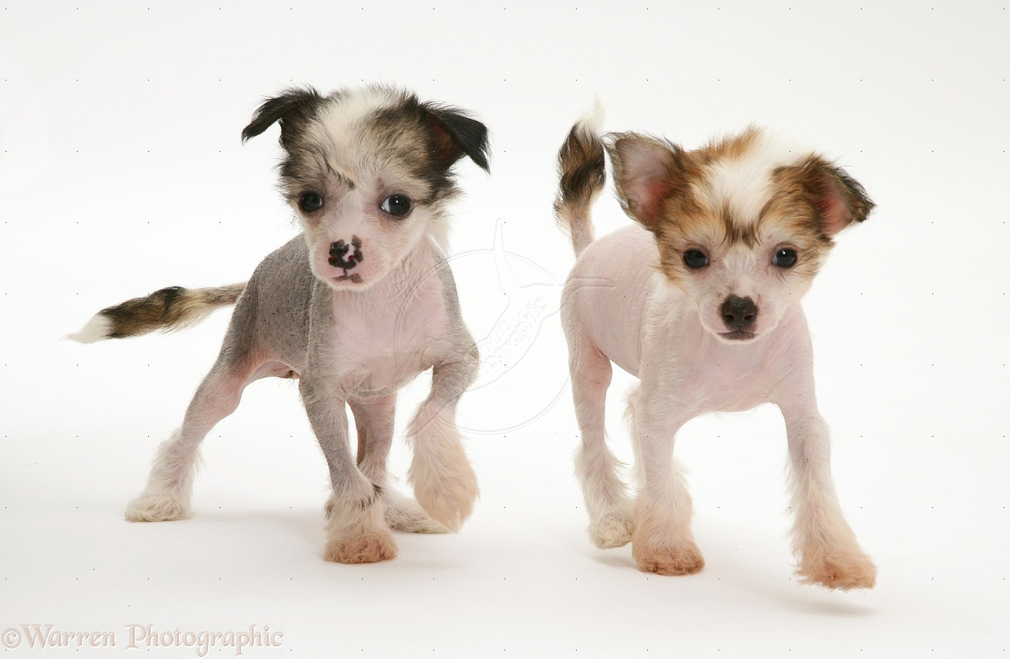 Chinese Crested Puppies: Chinese Hairless Chinese Crested Puppies Hd Breed