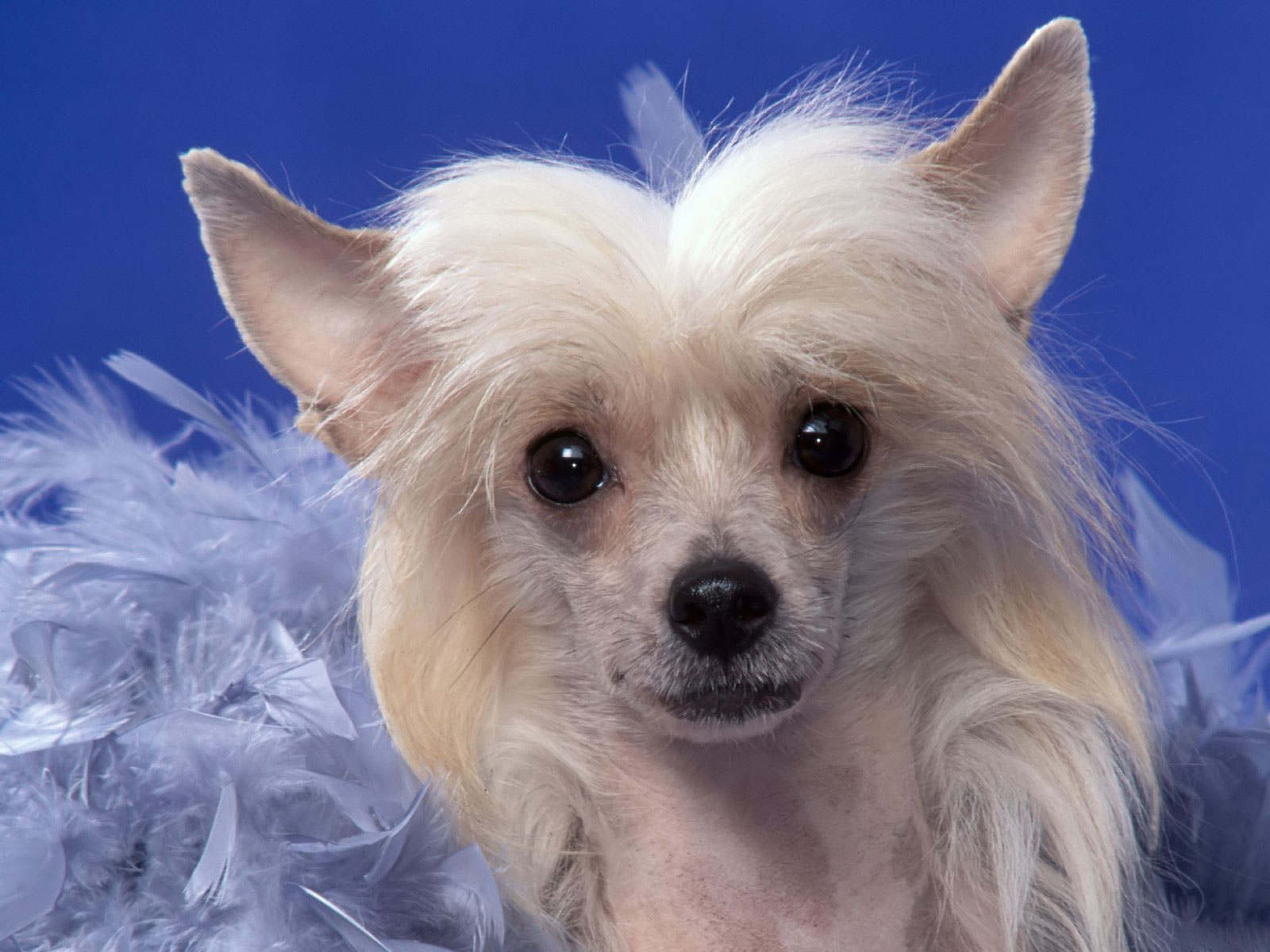 Chinese Crested Dog: Chinese Lovely Chinese Crested Dog Blue Breed