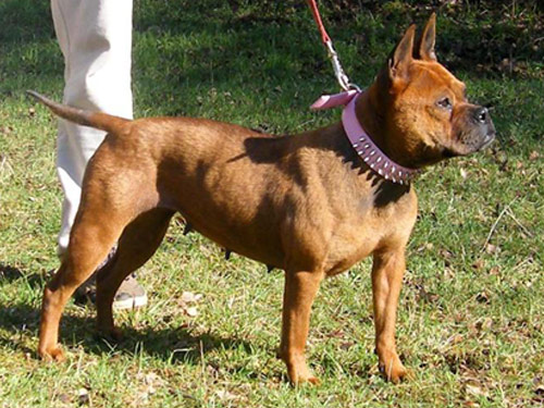 Chinese Chongqing Dog: Chinese Open Breed