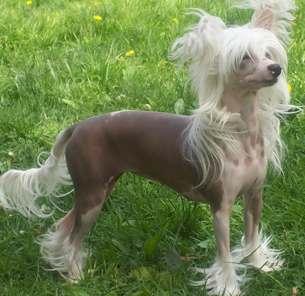 Chinese Crested Dog: Chinese Picture Of Chinese Crested Breed