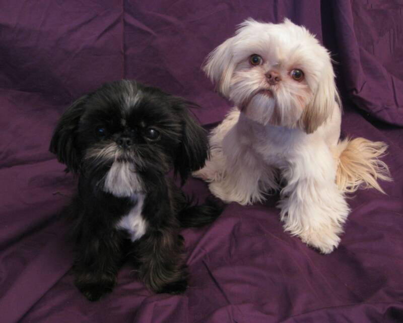 Chinese Imperial Dog: Chinese Puppies Breed
