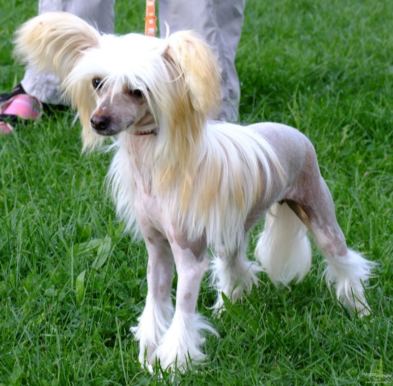 Chinese Crested Dog: Chinese Razza Chinese Crested Dog Breed