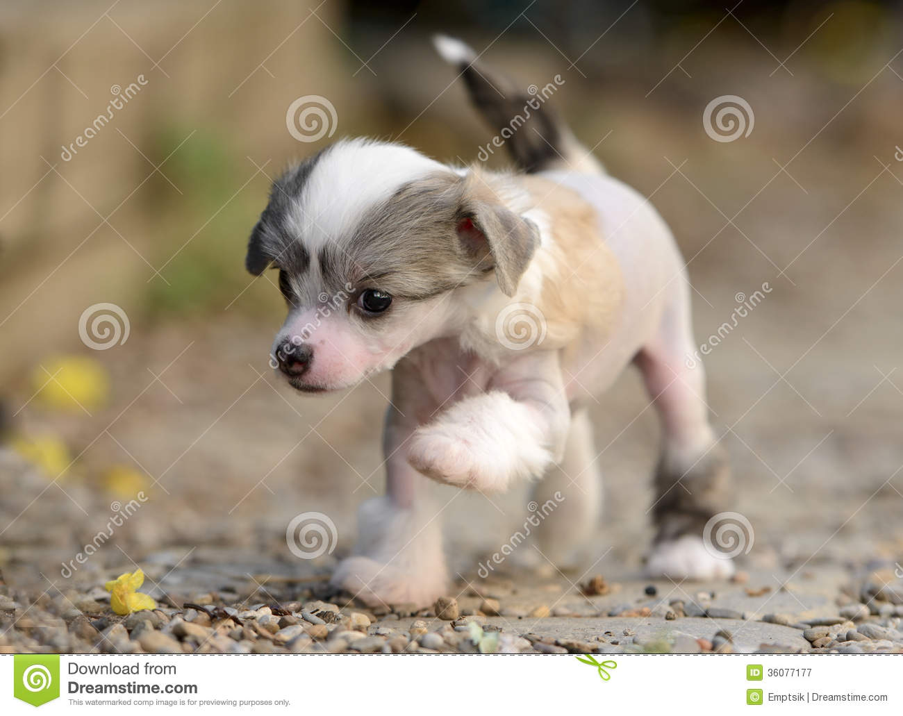 Chinese Crested Puppies: Chinese Royalty Free Stock Graphy Chinese Crested Puppies Puppy Making Its First Steps Breed