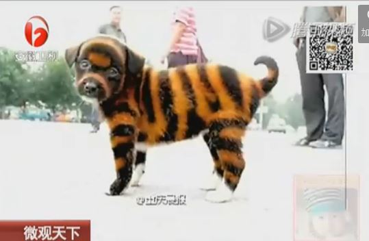 Chinese Chongqing Puppies: Chinese Tiger Dog Puppies Sold Chongqing Breed