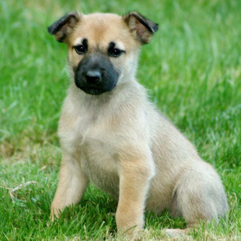 Chinook Puppies: Chinook Bellespuppies Breed