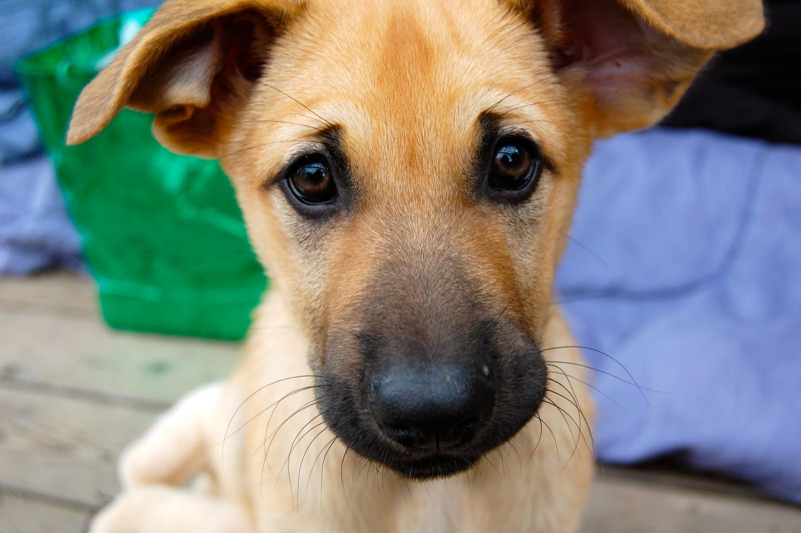 Chinook Dog: Chinook Chinook Breed