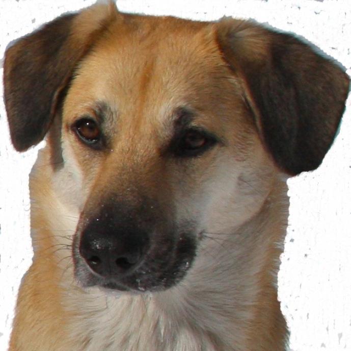 Chinook Dog: Chinook Chinook Dog Breed