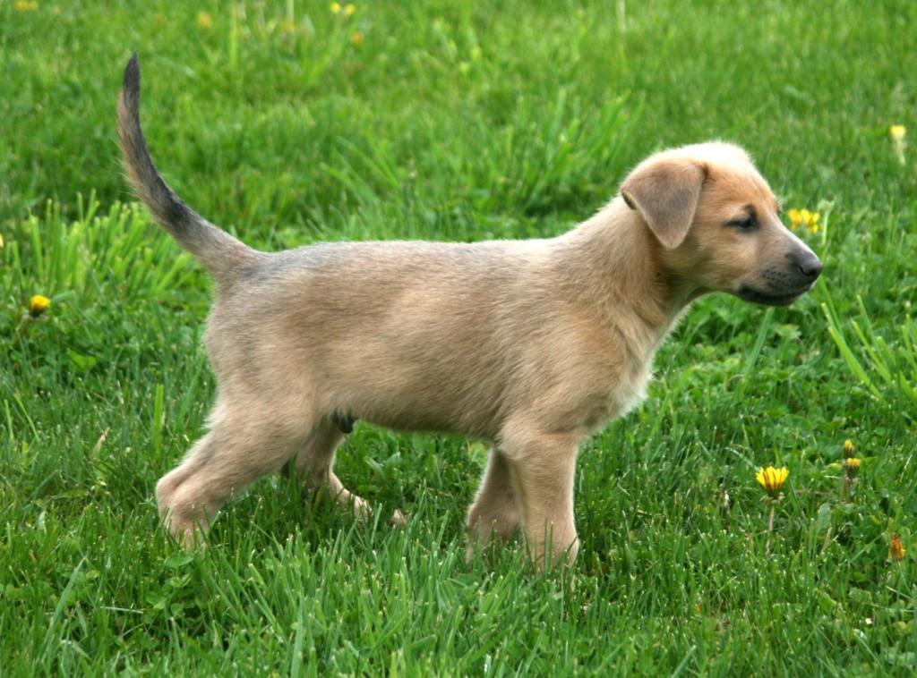 Chinook Puppies: Chinook Chinook Puppies Breed