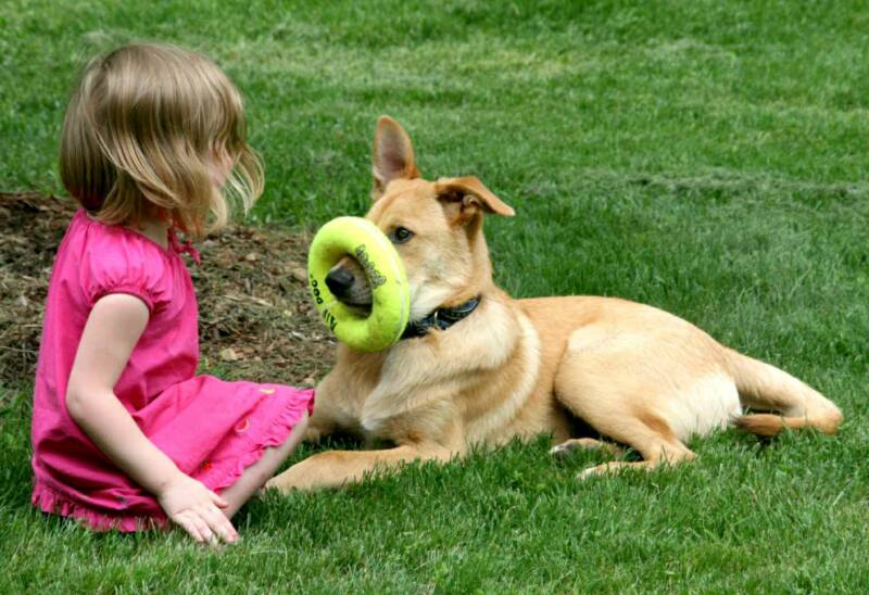 Chinook Puppies: Chinook Chinook Puppies Breeders