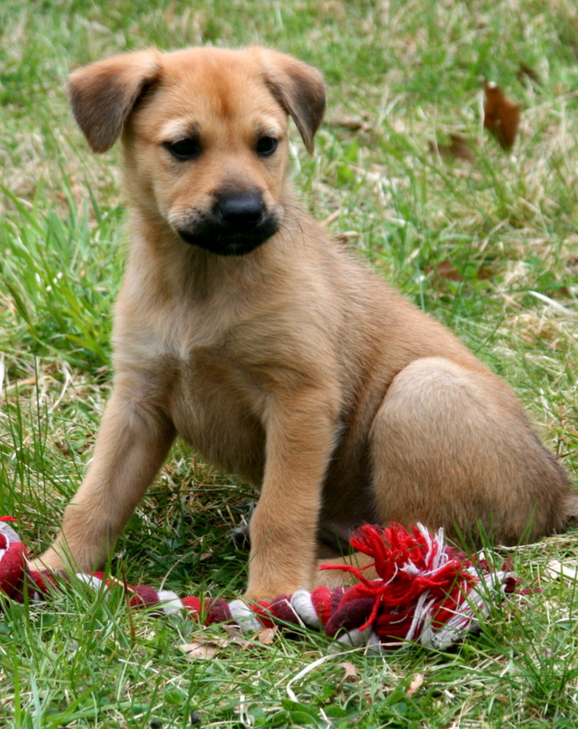 Chinook Puppies: Chinook Chinook Puppypage Breed