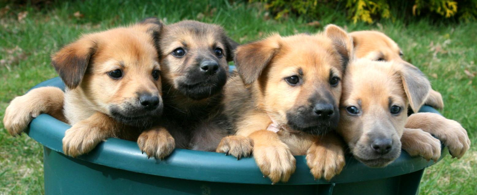 Chinook Dog: Chinook Chinookpuppies Breed