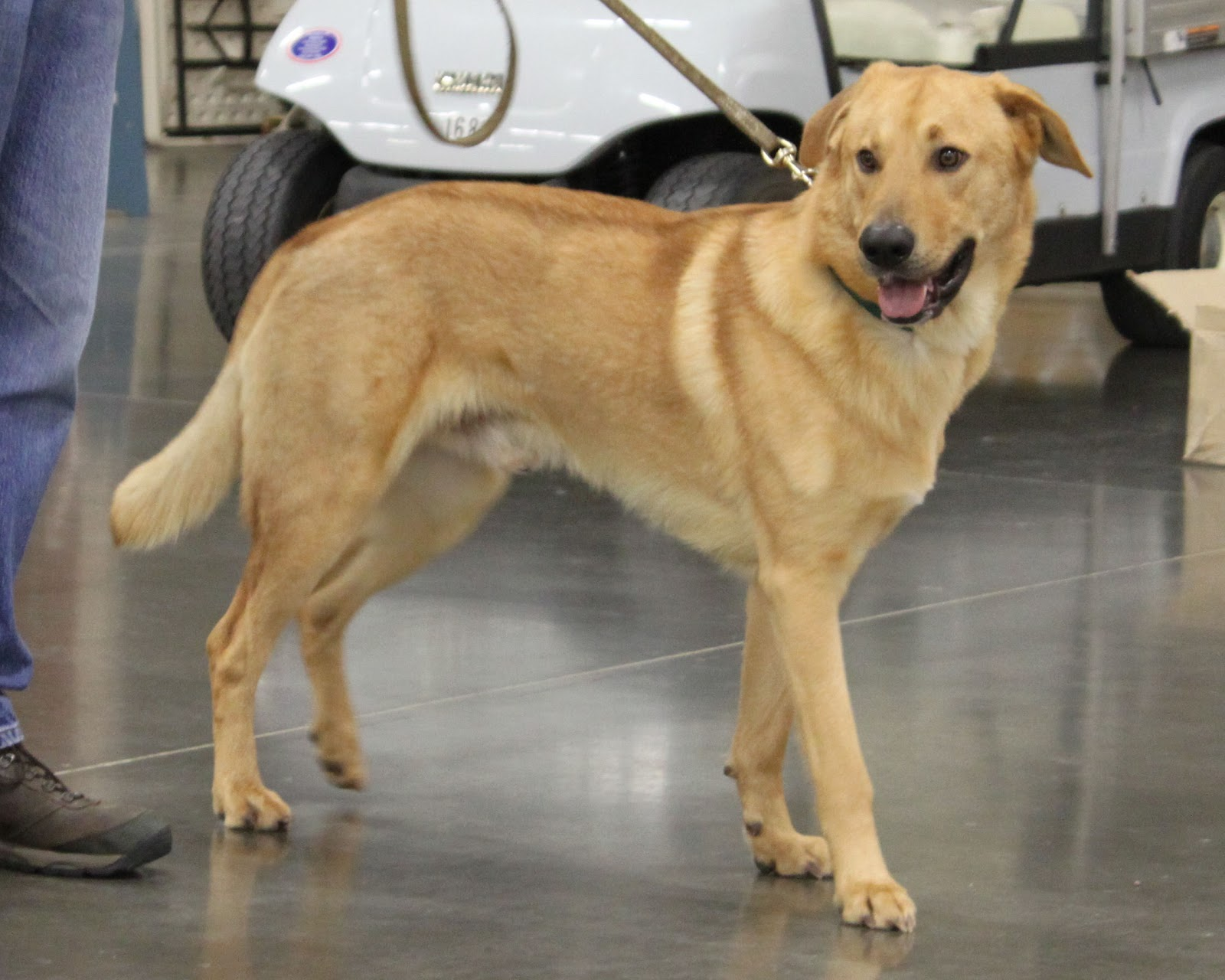Chinook Dog: Chinook Cute Chinook Breed