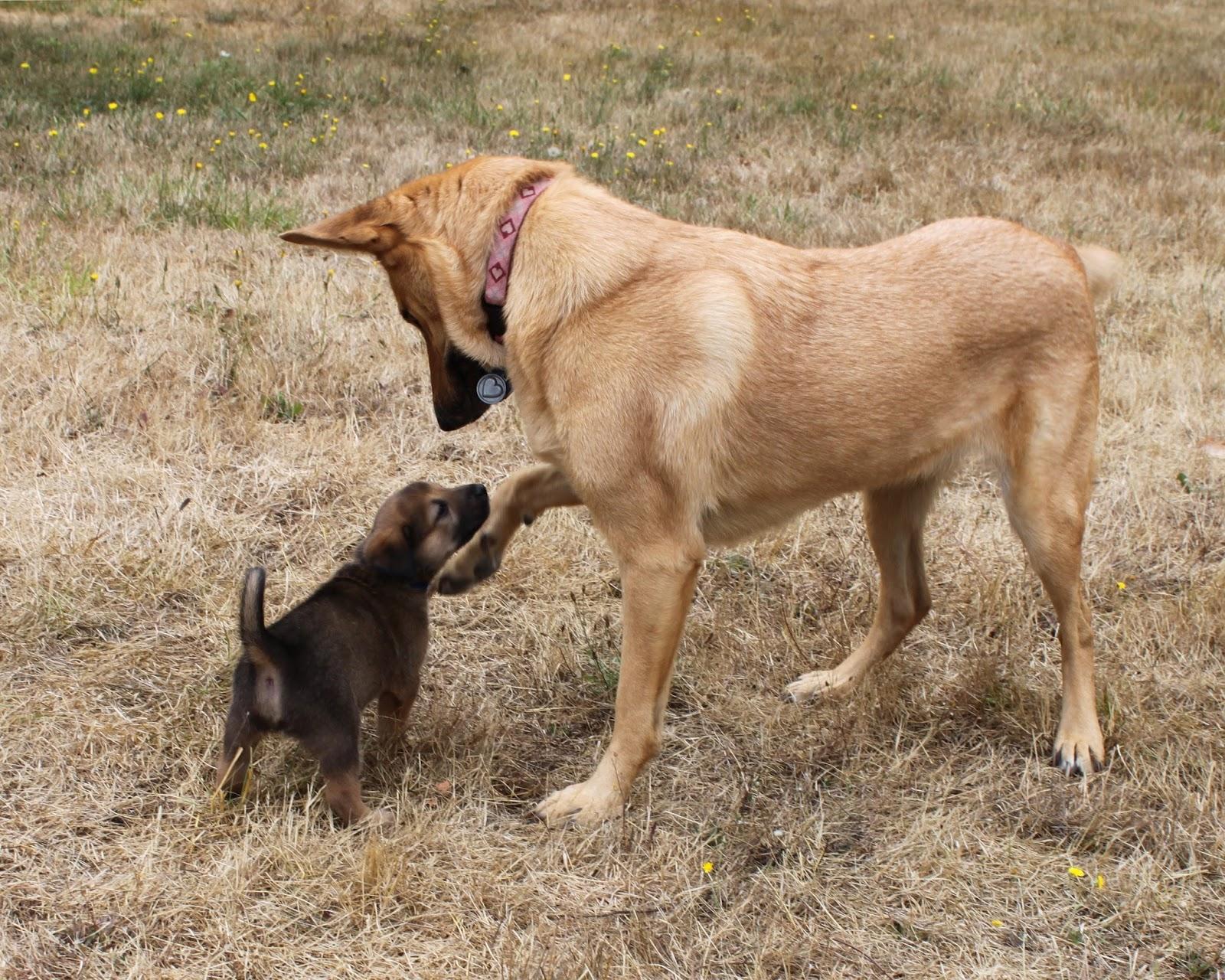 Chinook Puppies: Chinook Day Just Hanging Around Breed
