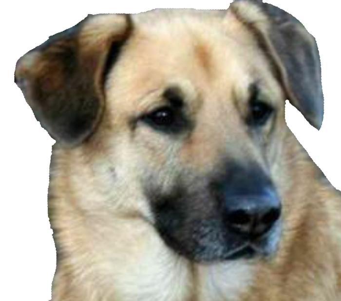 Chinook Dog: Chinook Dog Sledding Breed