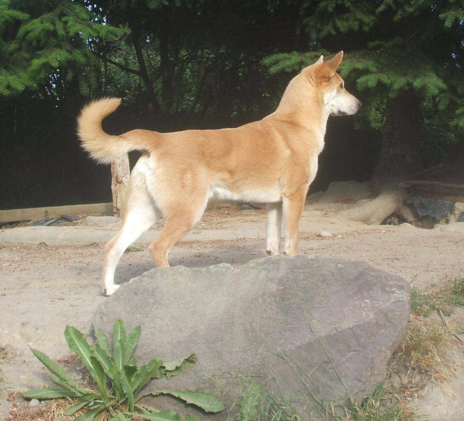 Chinook Puppies: Chinook Litter Expectedi Mean Litters Breed