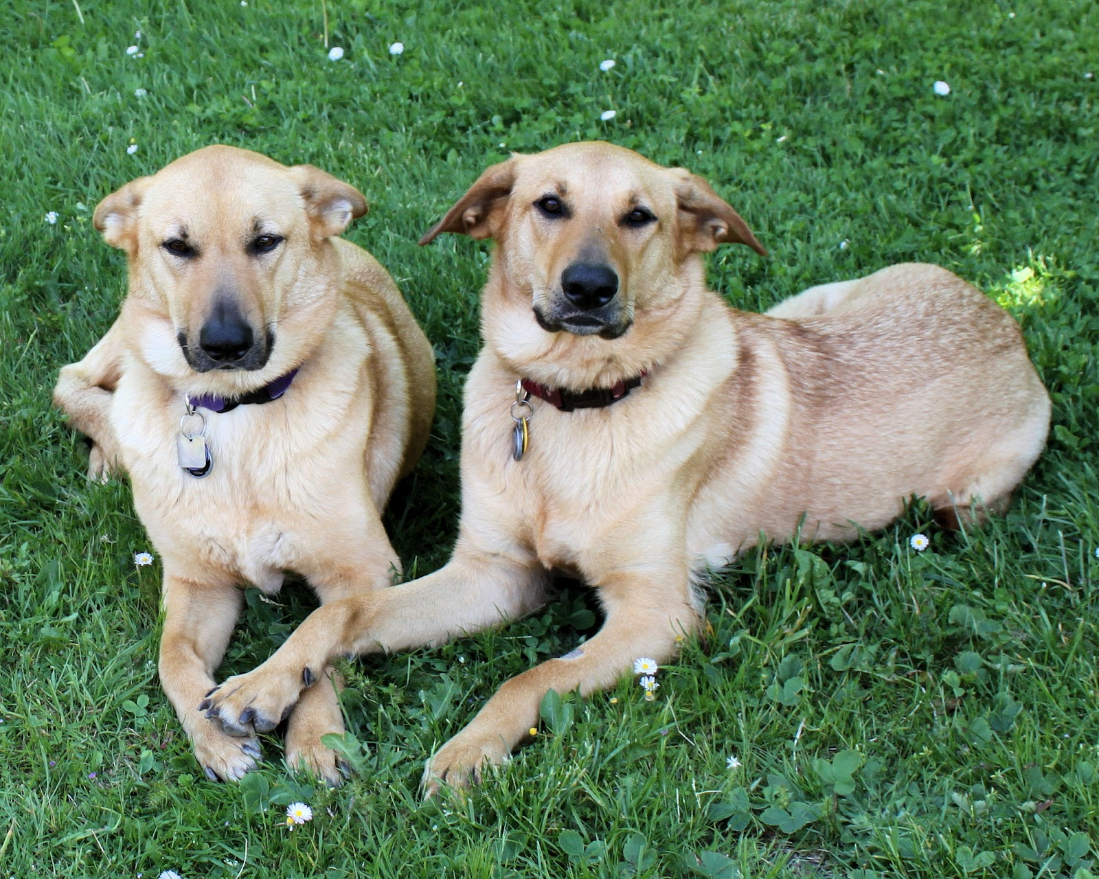 Chinook Dog: Chinook Two Chinook Dogs Breed