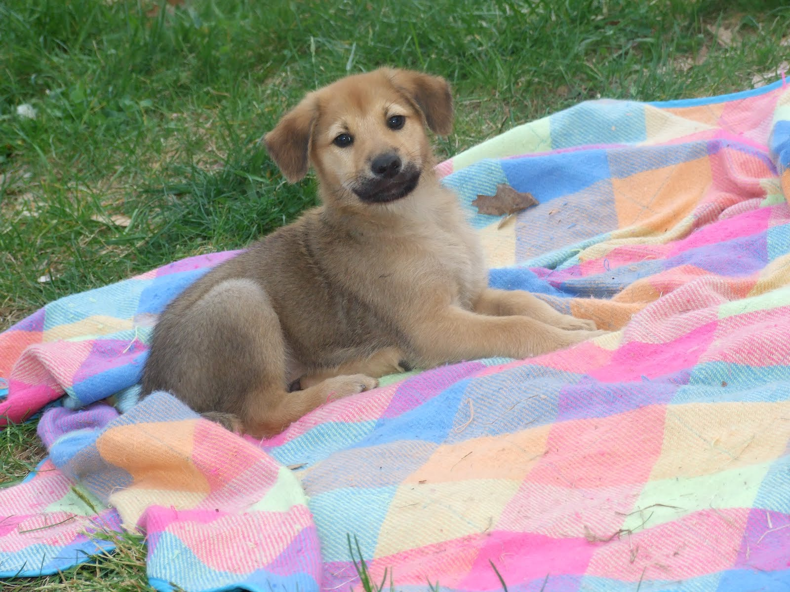 Chinook Puppies: Chinook Weeks Can You Believe It Breed