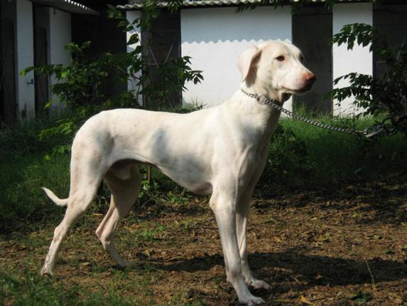 Chippiparai Dog: Chippiparai Article Breed