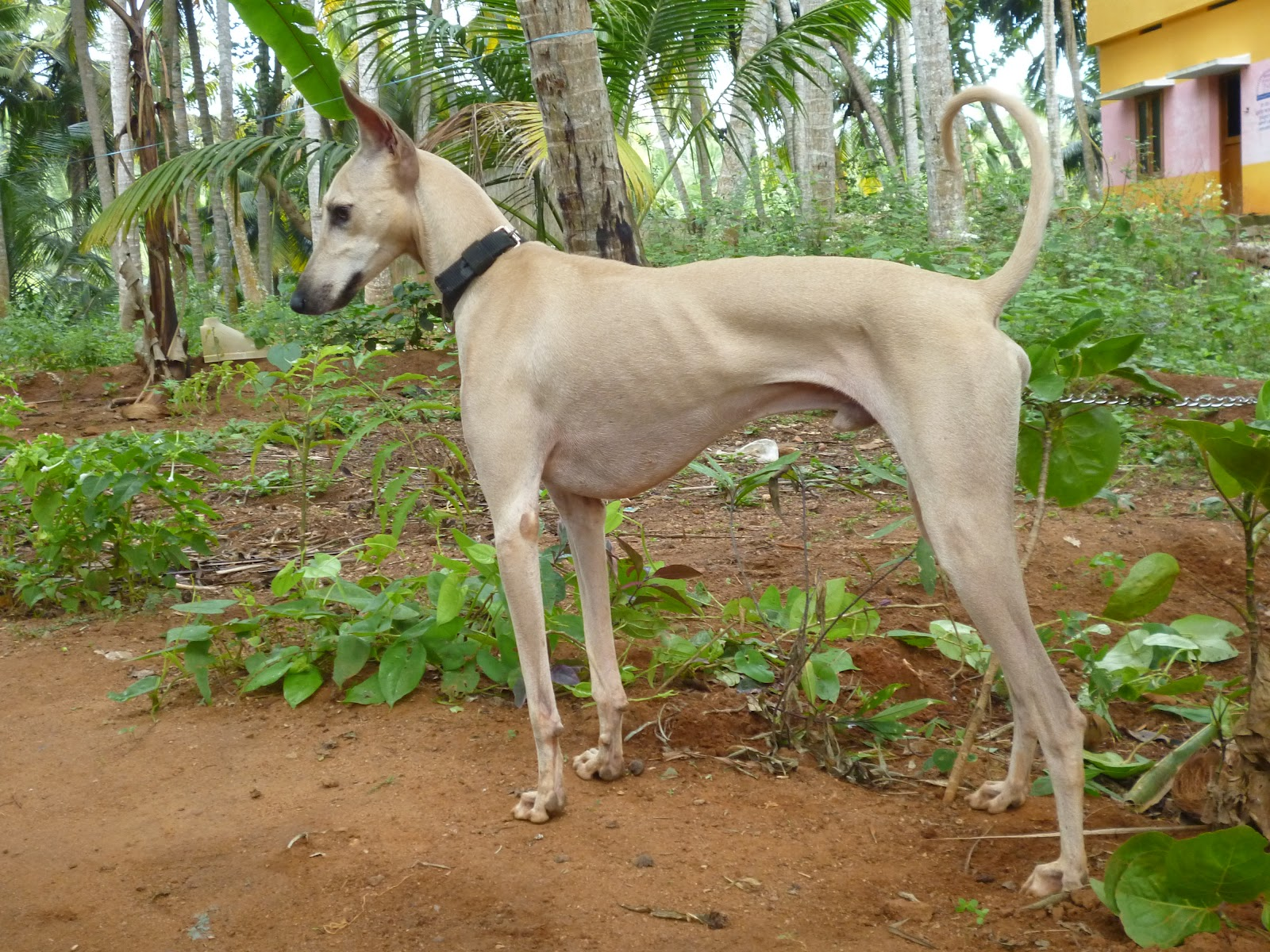 Chippiparai Dog: Chippiparai Chippiparai Dog Breed The Indian Hound Dog
