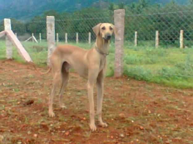 Chippiparai Puppies: Chippiparai Chippiparai Puppies For Sale Breed