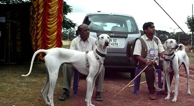 Chippiparai Dog: Chippiparai Dogs Of Tamil Nadu Breed
