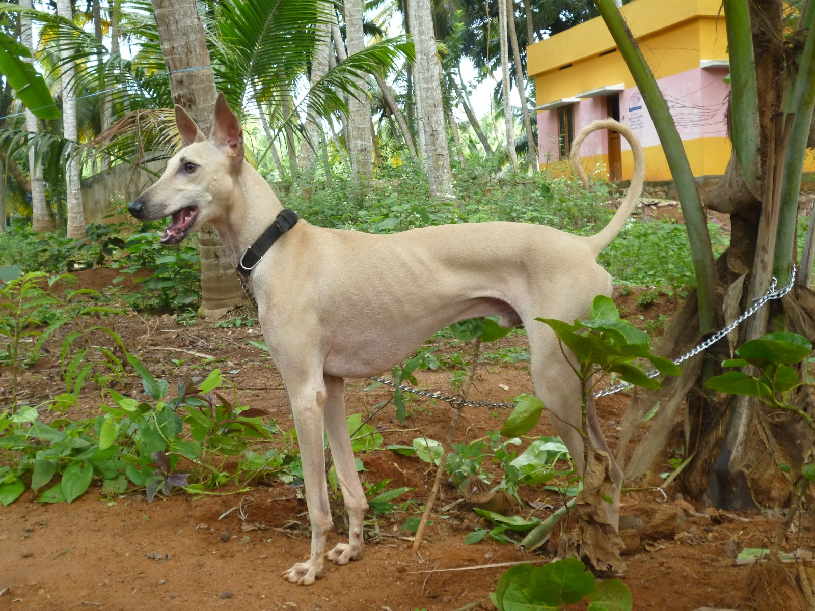 Chippiparai Puppies: Chippiparai Httpccsolxincuicccc Rajapalyamchippiparaikombai And Kanni Dogs For Sale Animalsjpg Breed