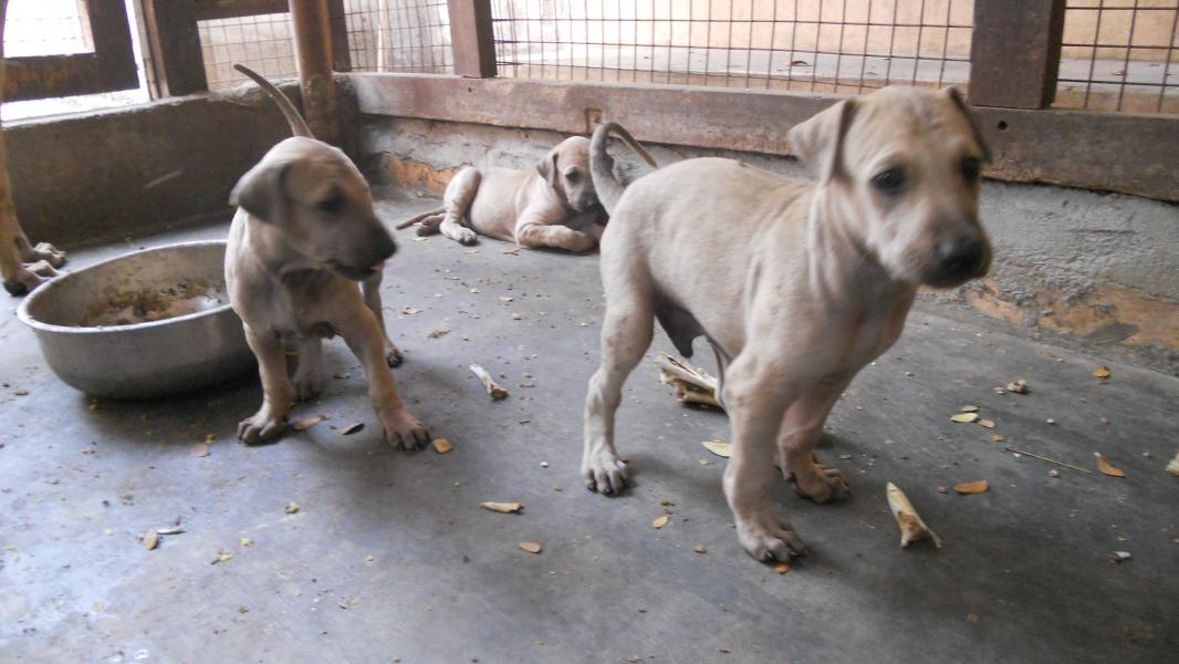 Chippiparai Puppies: Chippiparai Santhoshpets Chippiparai Breed