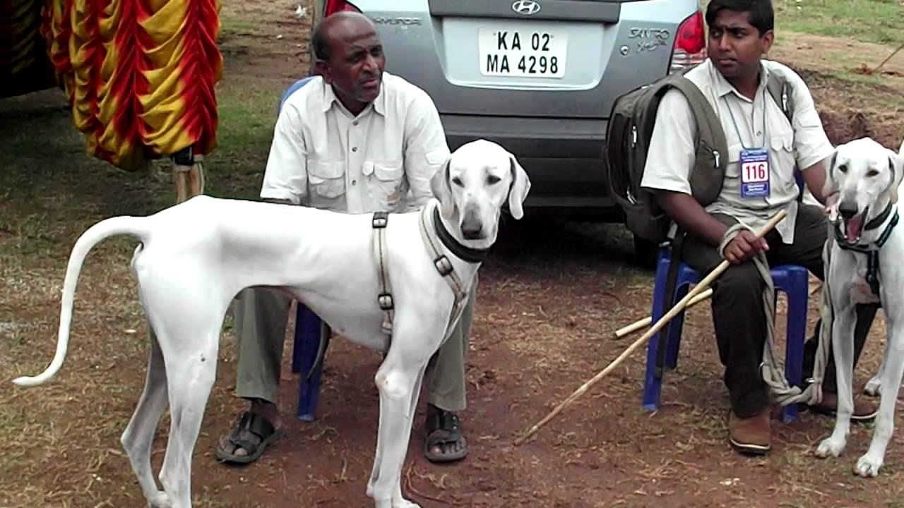 Chippiparai Dog: Chippiparai Watch Breed