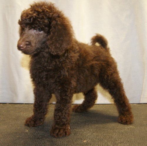 Talbot Puppies: Chocolate Black Standard Poodle Puppies Neath Breed
