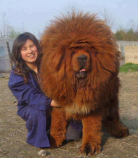 Chow Chow Dog: Chow Breed