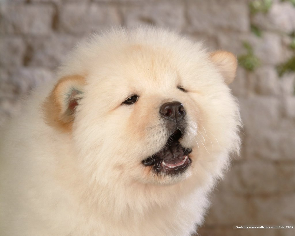 Chow Chow Dog: Chow Chow Chow Dogs Breed