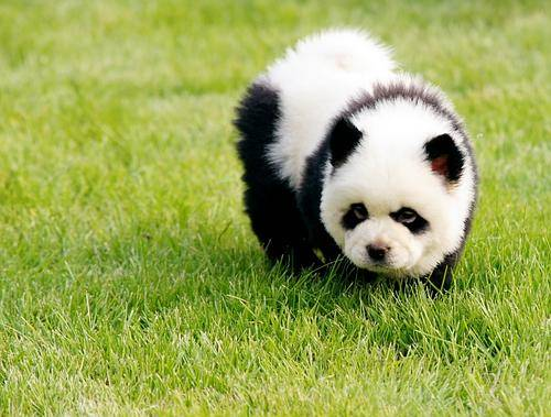 Chow Chow Dog: Chow Chow Chow Panda Picture Breed