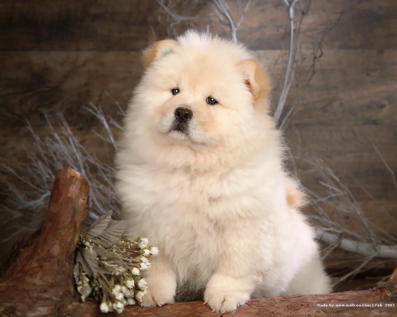 Chow Chow Puppies: Chow Chow Chow Puppies Breed