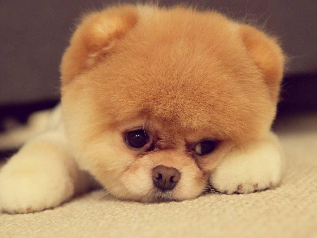 Chow Chow Dog: Chow Chow Chow Puppies Cute Dog Breed