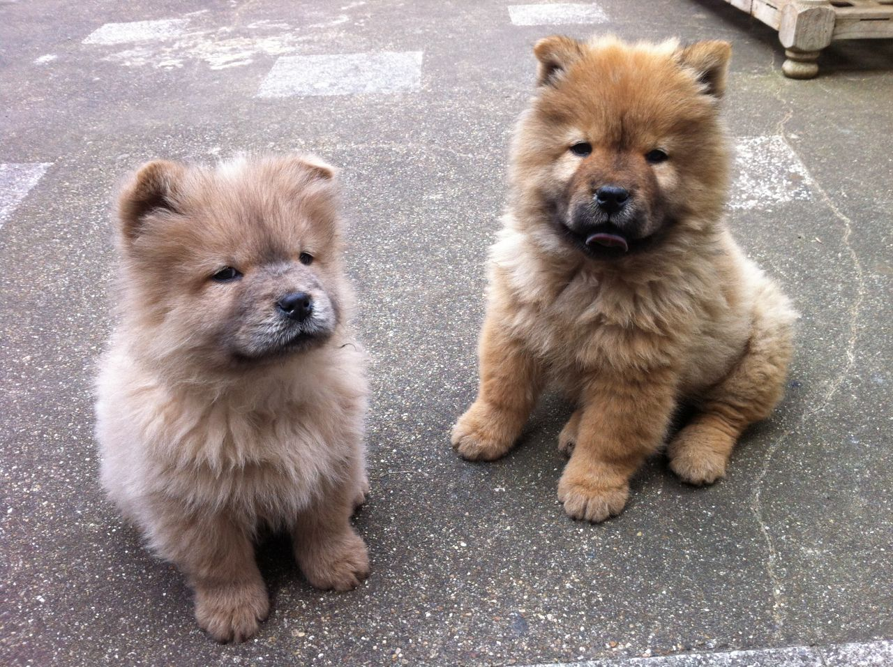 Chow Chow Puppies Puppy Dog Gallery