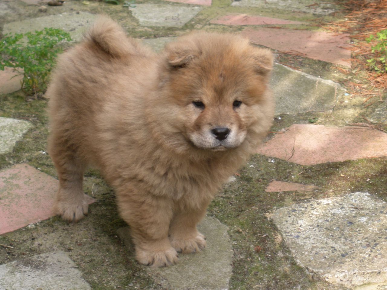 how to train a chow chow puppy