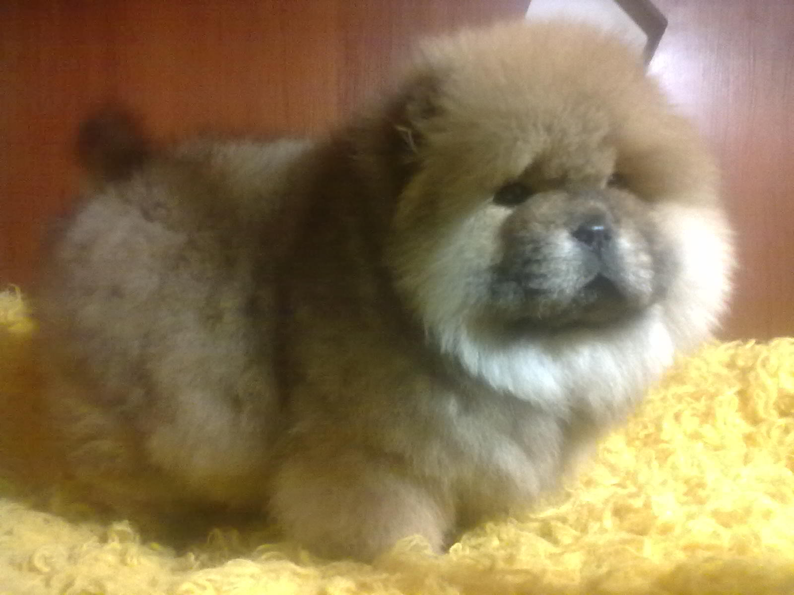 Chow Chow Puppies: Chow Chow Chow Puppies From Ukraine S Breed