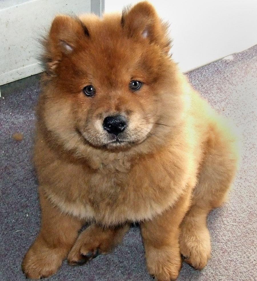 Chow Chow Puppies: Chow Chow Chow Puppies Pictures Breed