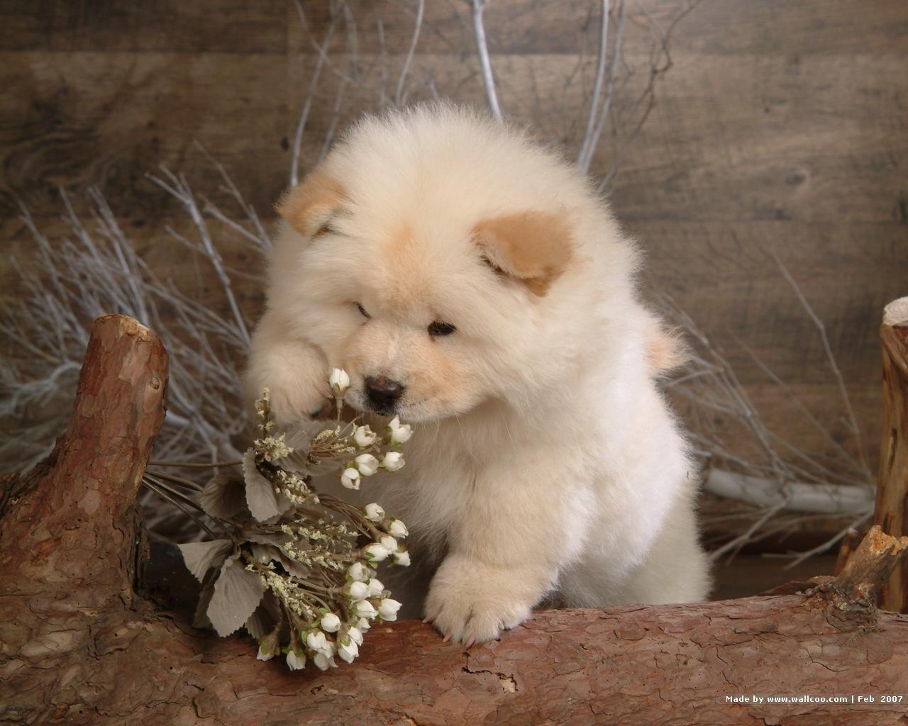 Chow Chow Puppies: Chow Chow Chow Puppy Breed