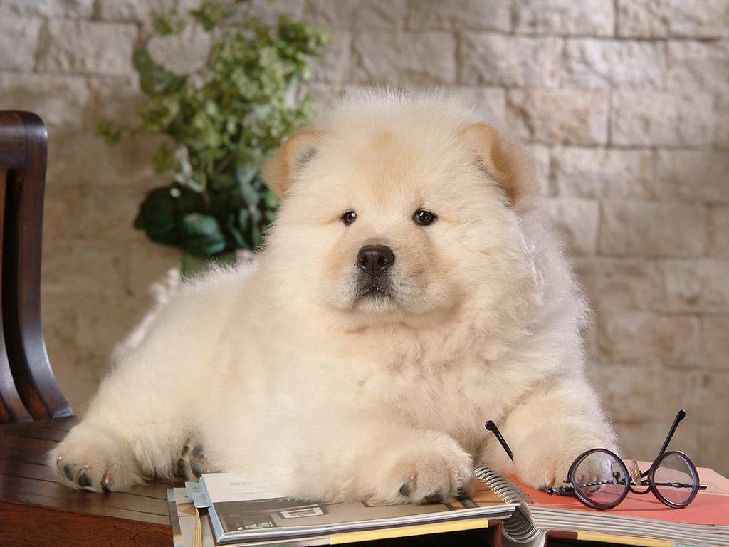 Chow Chow Dog: Chow Chow Chow Puppy Picture Breed