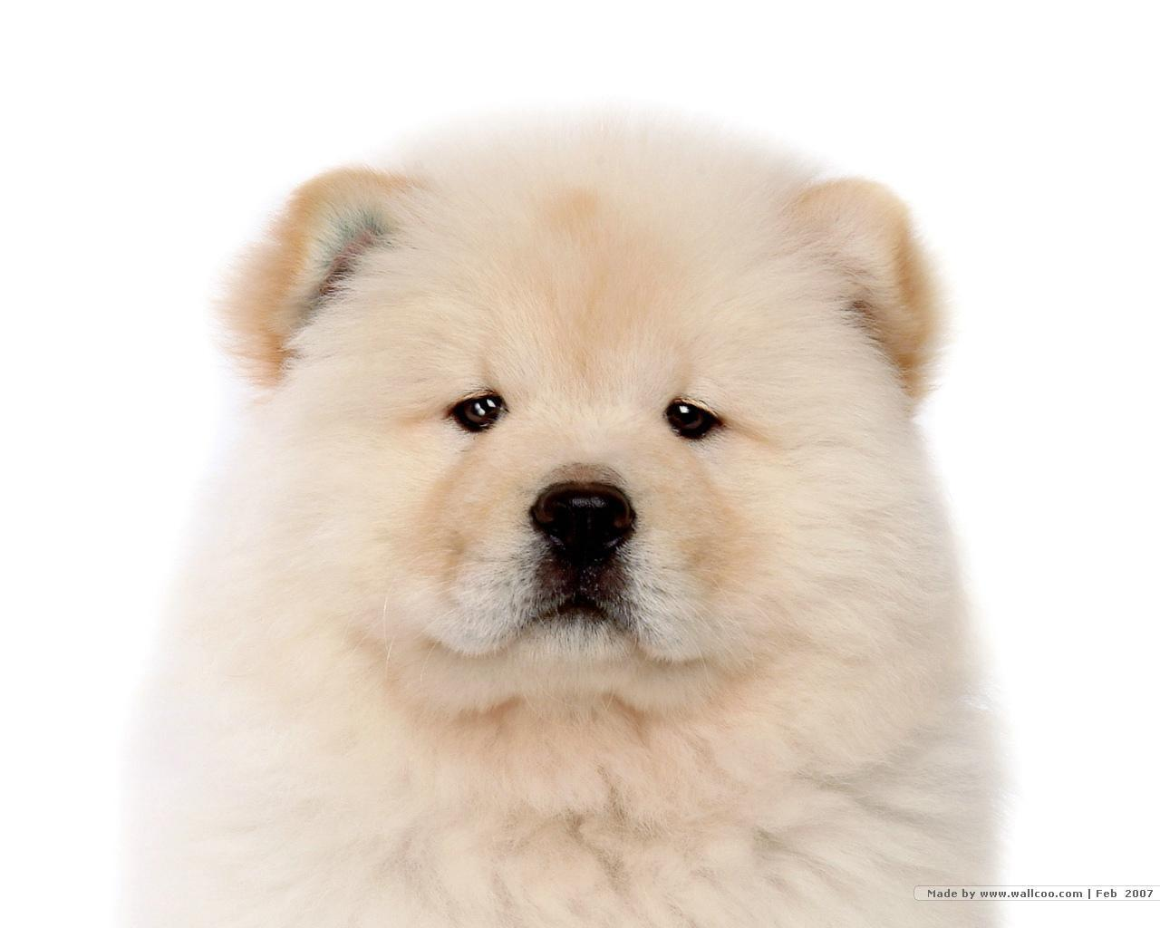 Chow Chow Dog: Chow Chow Chow Puppy Pictures Breed