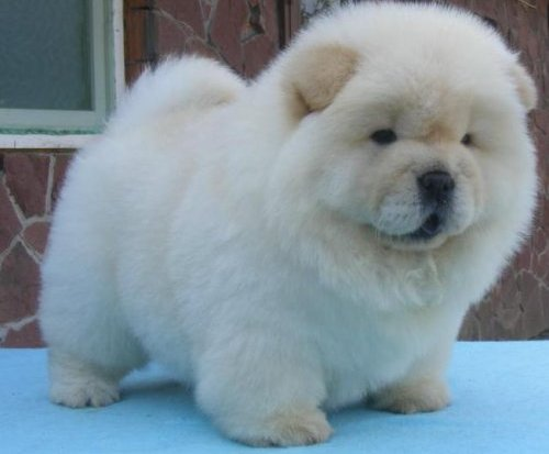 Chow Chow Puppies: Chow Chow Puppy White Breed