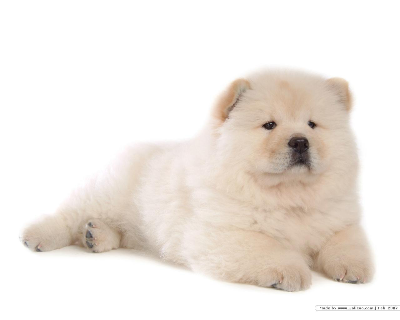 Chow Chow Puppies: Chow Chowchowpuppypuppiesfanpop Breed